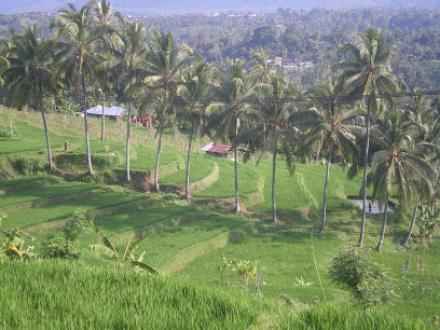 """Pemandangan Persawahan Desa Mayong"